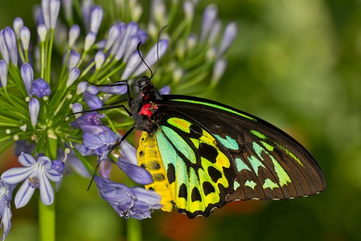 Stock Photo: 837-4793 Common Green Birdwing (Ornithoptera Priamus)