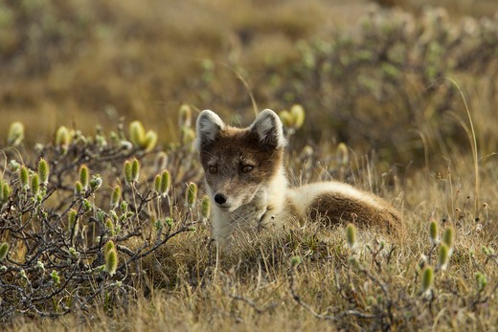 Stock Photo: 837-4795 Artic Fox (Alopex Lagopus) in tundra