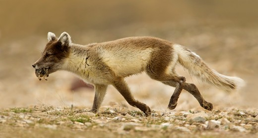Stock Photo: 837-4800 Artic Fox (Alopex Lagopus) with lemming in mouth