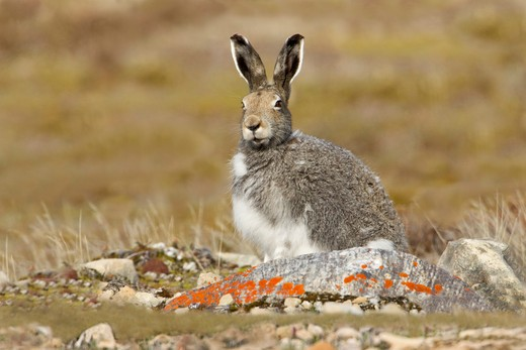 Stock Photo: 837-4805 Artic Hare (Lepus Articus) in tundra