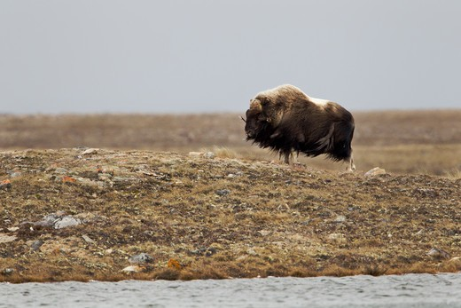 Lone Musk Ox (Ovibus Moschatus) standing by water's shore in tundra : Stock Photo