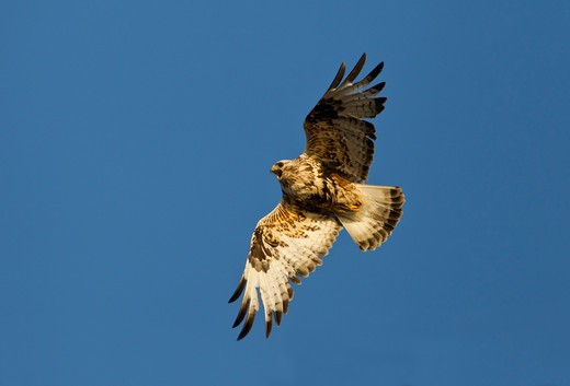Rough-Legged Hawk (Buteo Lagopus) flying : Stock Photo