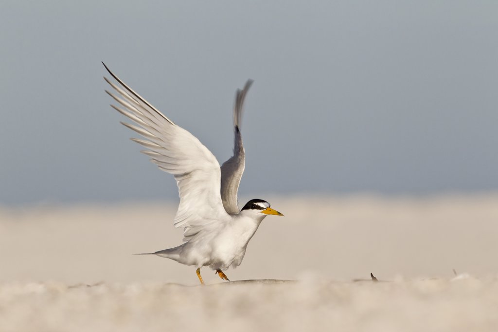 Stock Photo: 837-4963 Close up of Least Tern (Sterna Antillarum) flapping wings