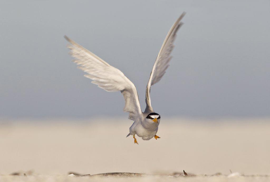 Stock Photo: 837-4966 Close up of Least Tern (Sterna Antillarum) taking off