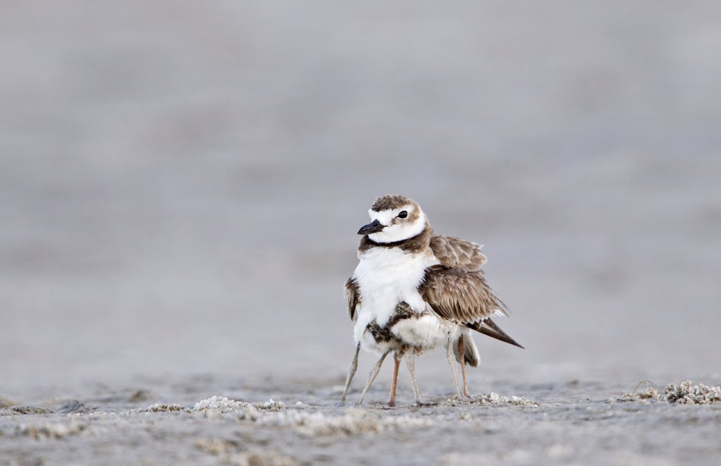 Stock Photo: 837-4979 Close up of Wilson's Plover (Charadrius Wilsonia) with chick