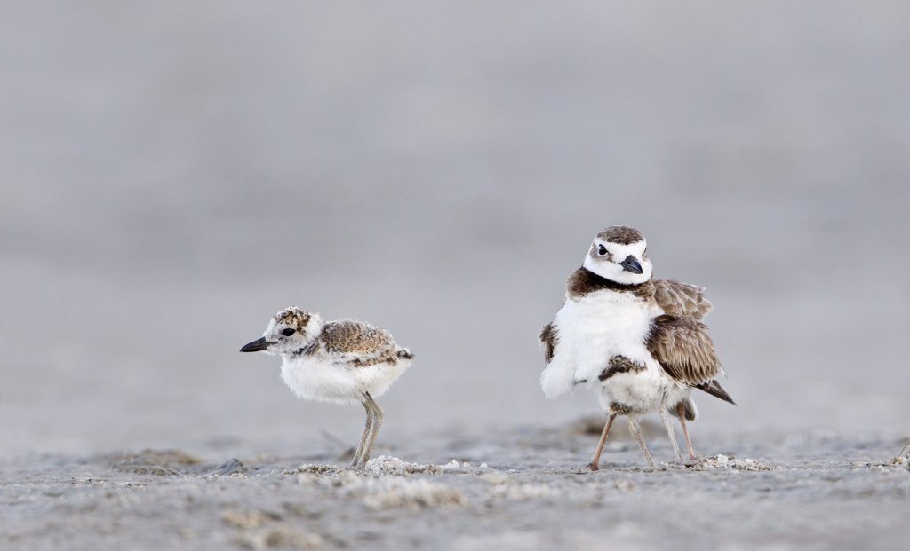 Close up of Wilson's Plover (Charadrius Wilsonia) with chick : Stock Photo