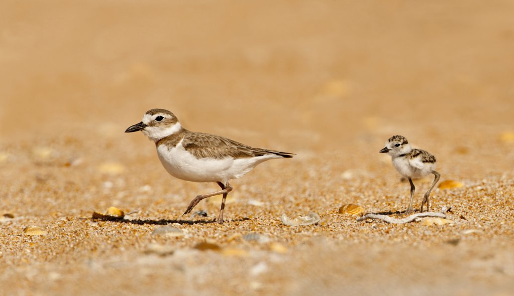 Stock Photo: 837-4987 Close up of Wilson's Plover with chick (Charadrius Wilsonia) on sand