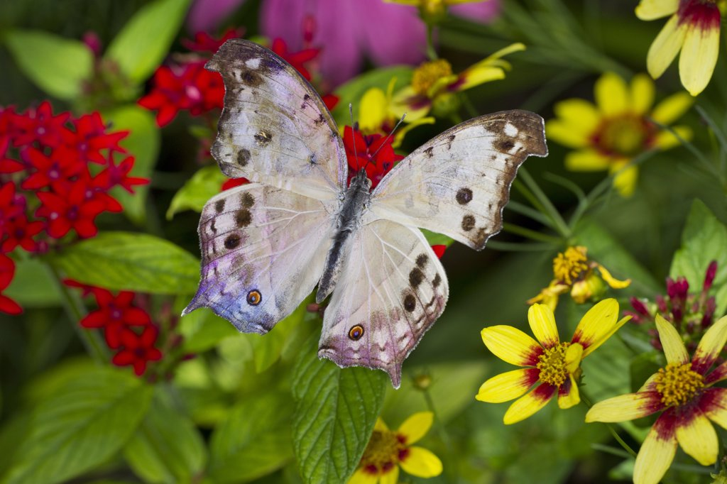 Forest Mother of Pearl (Salamis parhassus) perched on flower : Stock Photo