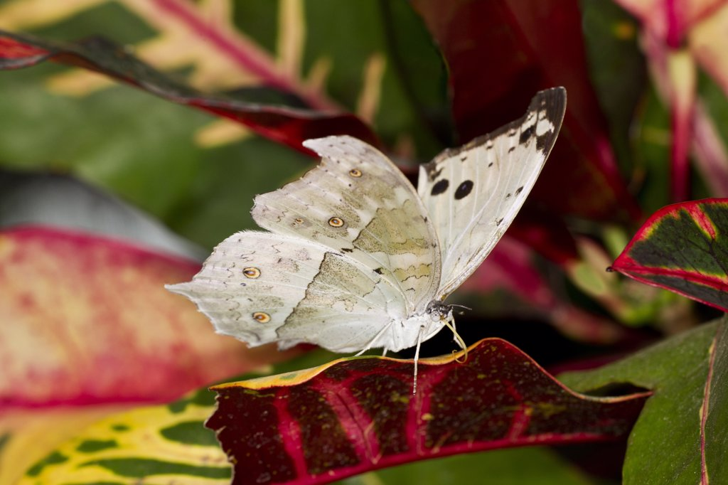 Forest Mother of Pearl (Salamis parhassus) perched on leaf : Stock Photo