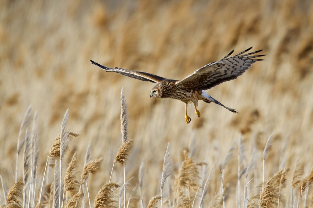 Stock Photo: 837-5055 Northern Harrier (Circus Cyaneus) in flight