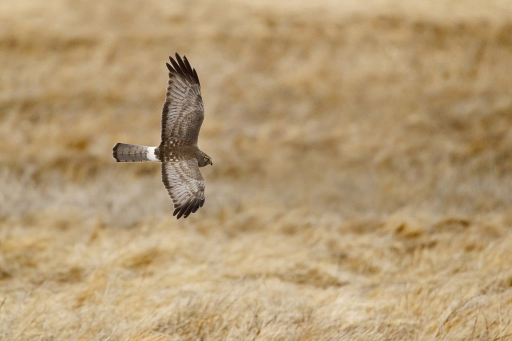 Stock Photo: 837-5058 Northern Harrier (Circus Cyaneus) in flight