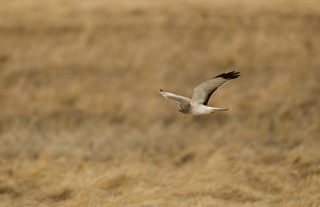 Stock Photo: 837-5059 Northern Harrier (Circus Cyaneus) in flight