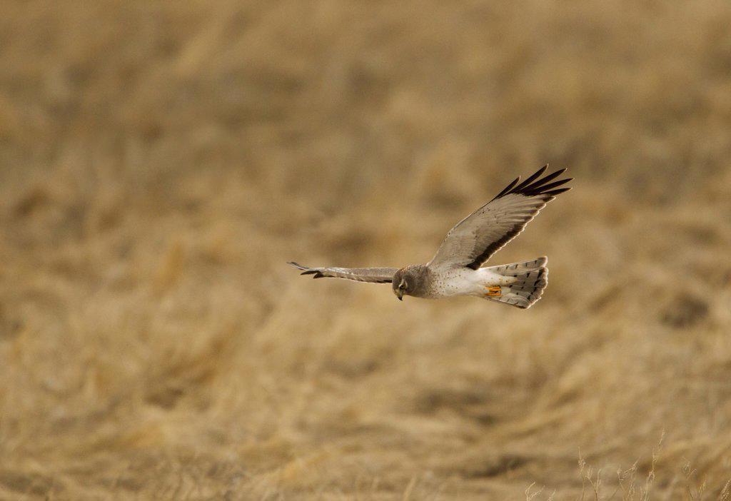 Northern Harrier (Circus Cyaneus) in flight : Stock Photo