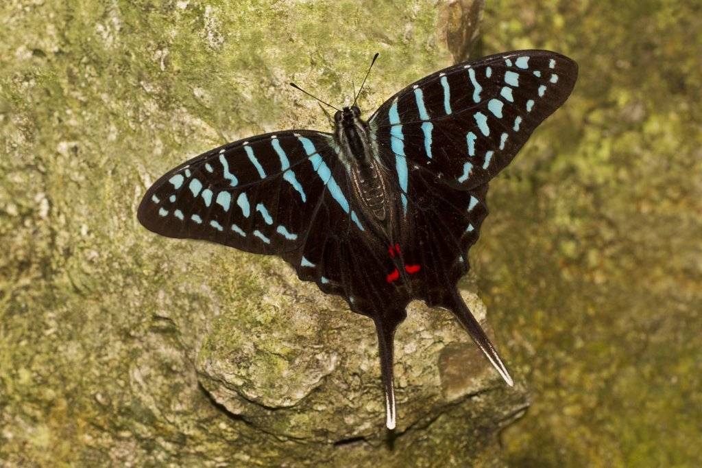Stock Photo: 837-5066 Black Swordtail (Graphium Colonna) perched on rock