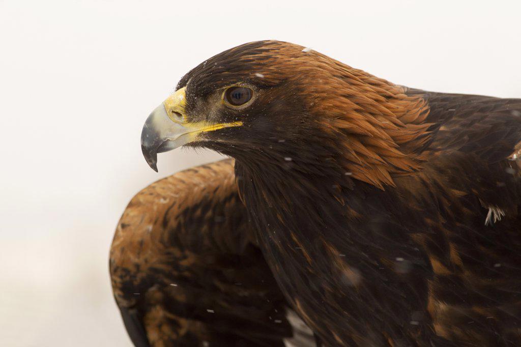 Golden Eagle (Aquila Chrysaetos) : Stock Photo