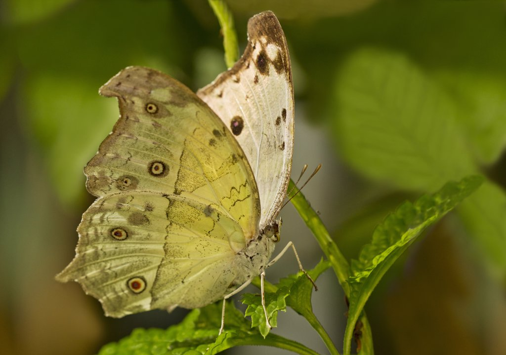 Stock Photo: 837-5097 Forest Mother of Pearl (Salamis Parhassus)