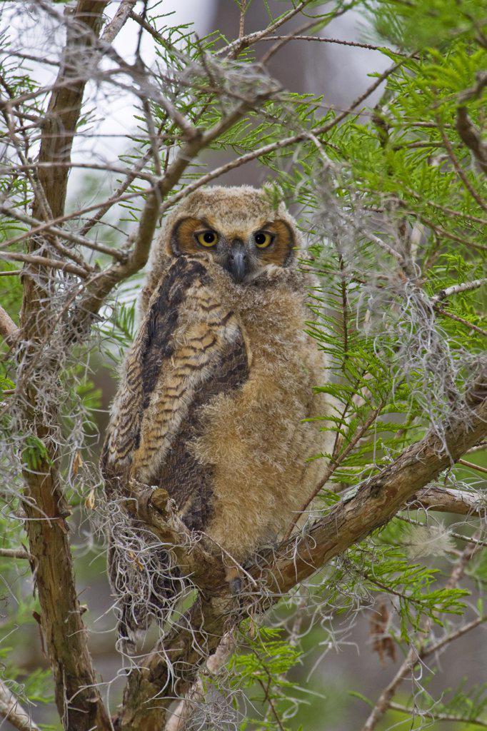 Stock Photo: 837-5116 Great Horned Owl (Bubo Virginianus)
