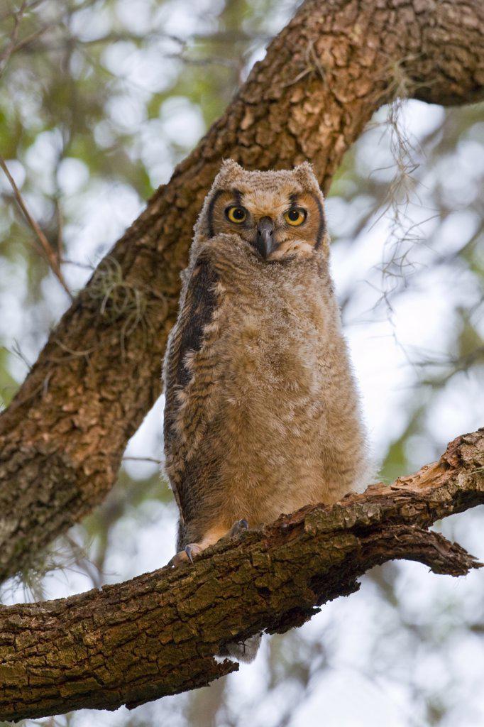 Stock Photo: 837-5117 Great Horned Owl (Bubo Virginianus)