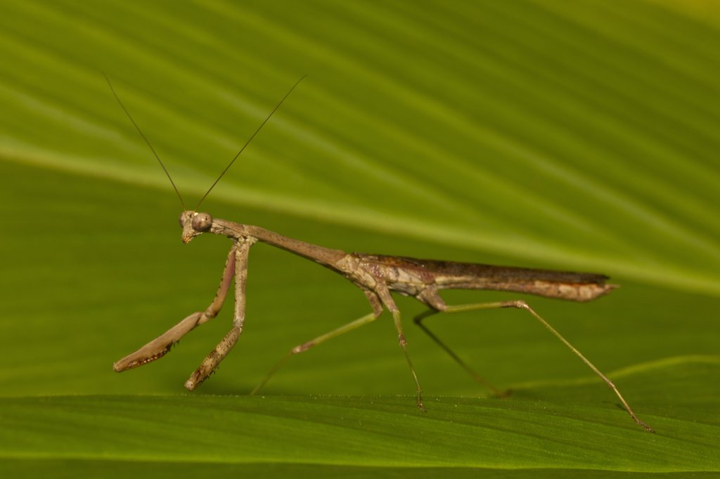 Stock Photo: 837-5124 Praying Mantis on leaf