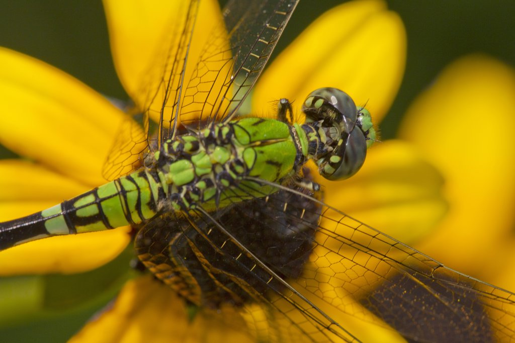 Stock Photo: 837-5142 Eastern Pondhawk (Erythemis Simplicicollis) Female