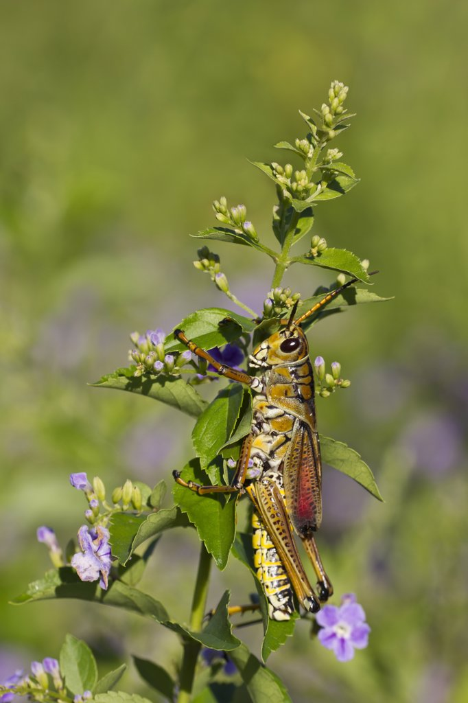 Stock Photo: 837-5143 Eastern Lubber Grasshopper (Romalea Microptera) Male