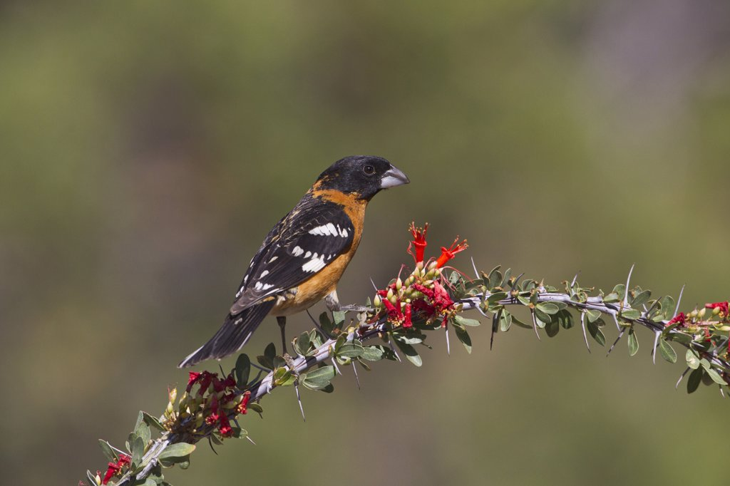 Black-Headed Grosbeak (Pheucticus Melanocephalus) Male Adult with Breeding Plumage Perched on Ocotillo : Stock Photo