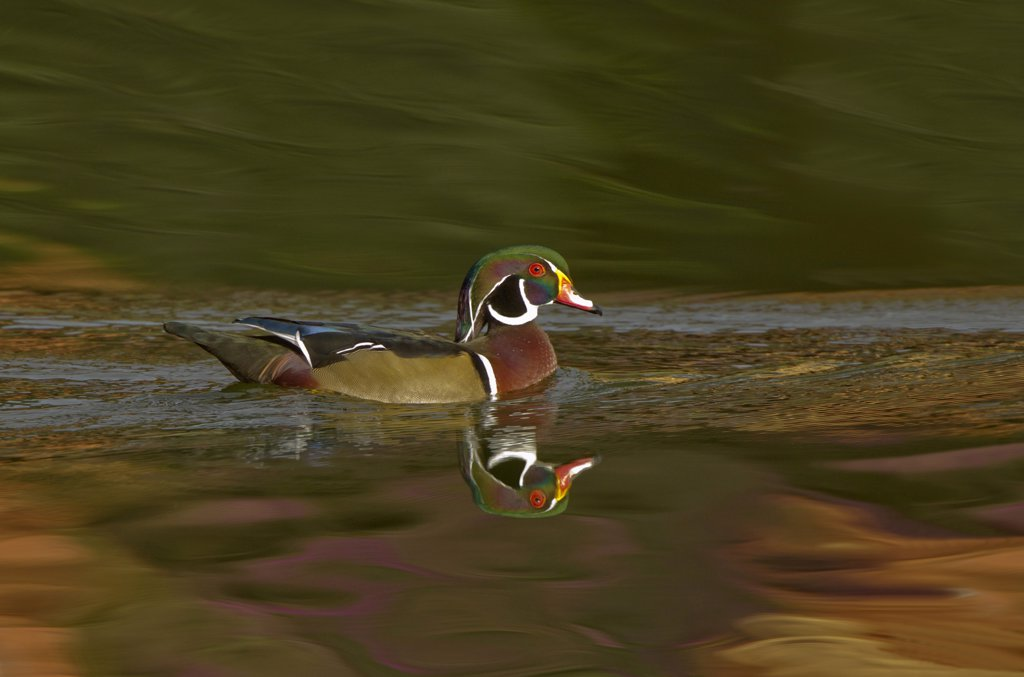 Wood Duck with reflection in water : Stock Photo