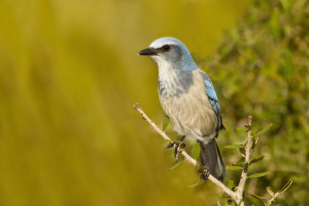 Stock Photo: 837-5225 USA, Florida, Deltona, Florida Scrub Jay perching on branch at Lyonia Preserve