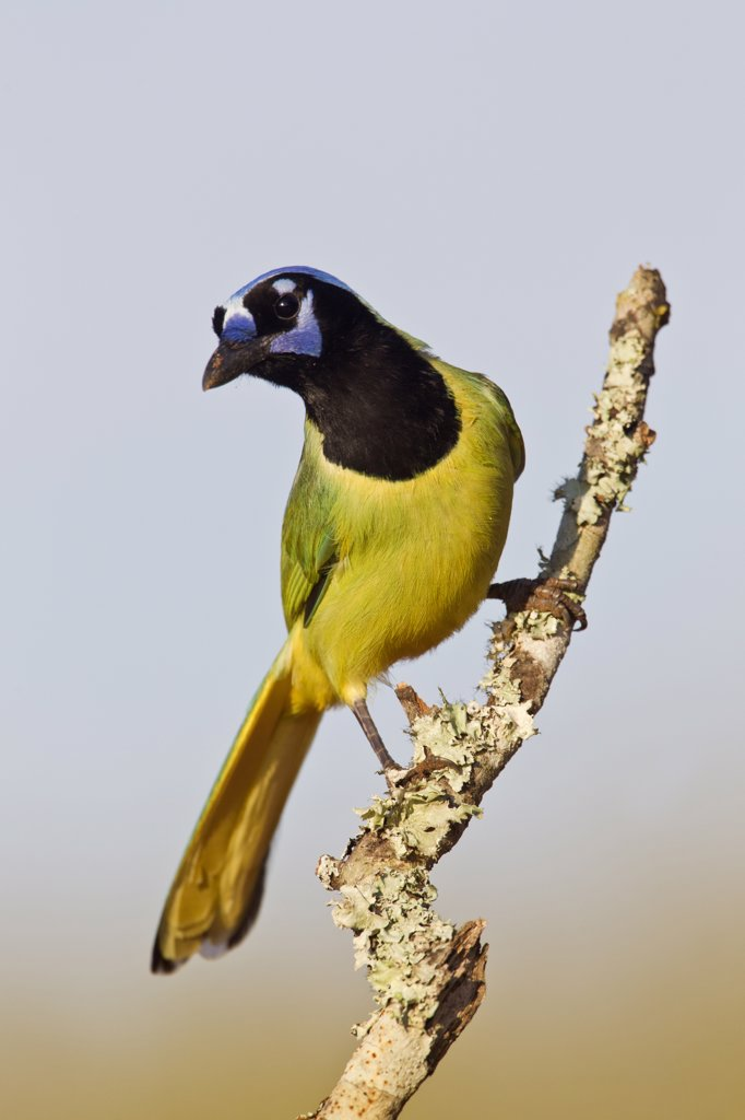 Stock Photo: 837-5253 Green jay (Cyanocorax yncas) perching on a tree stump, Laguna Seca Ranch, Laguna Seca, Hidalgo County, Texas, USA