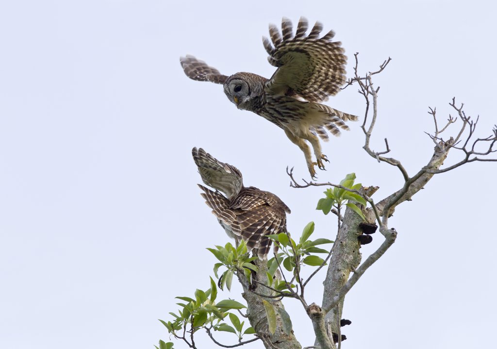 One Barred owl (Strix varia) taking off from a perch while another cringes and turns away : Stock Photo