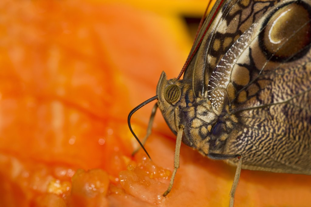Stock Photo: 837-5330 Narrow Banded Owlet (Opsiphanes tamarindi) butterfly nectaring on fruit