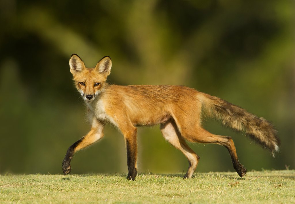 Red Fox (Vulpes vulpes) female walking on golf course : Stock Photo