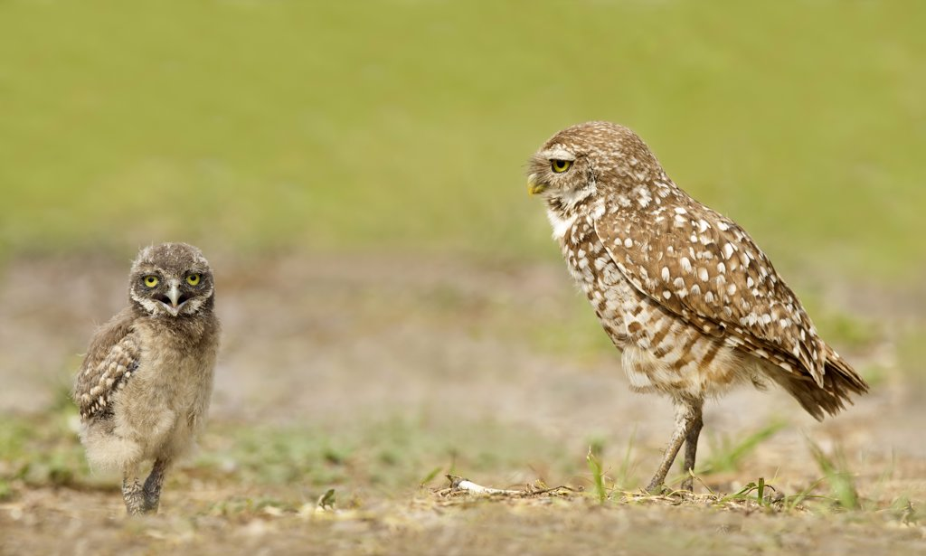 Male burrowing owl (Athene Cunicularia) looking at very young owlet : Stock Photo
