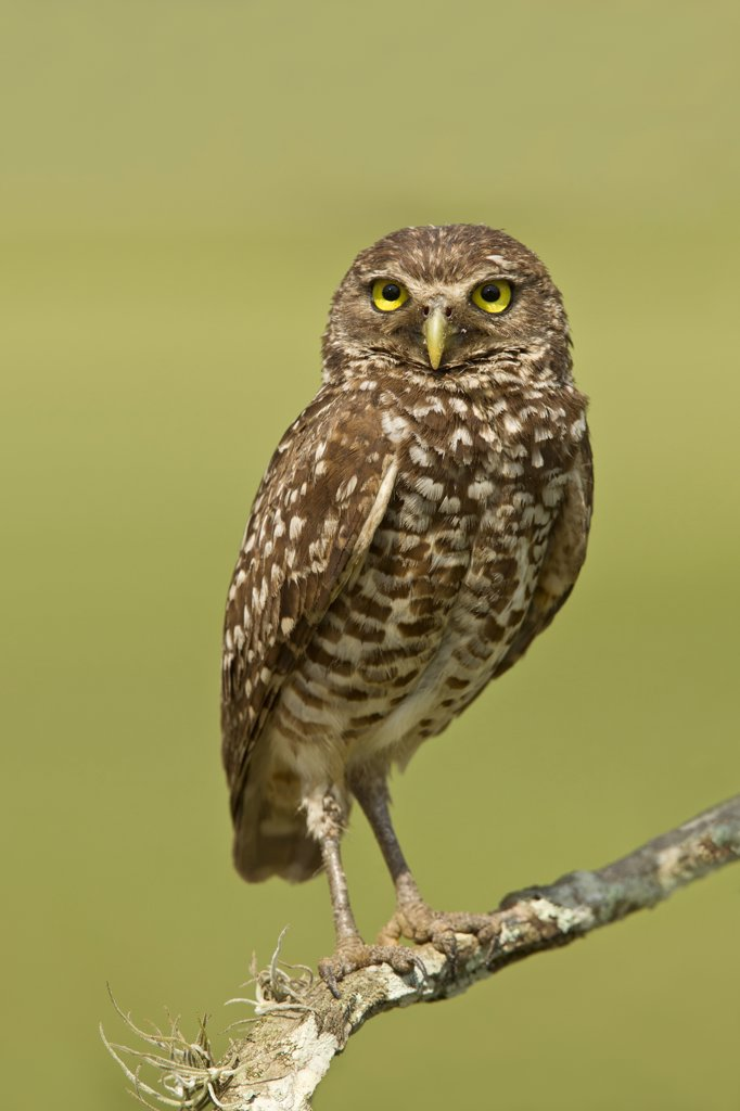 Stock Photo: 837-5394 Female burrowing owl (Athene Cunicularia) perching on branch