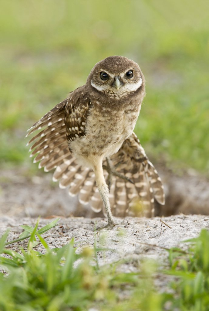 Burrowing owlet (Athene Cunicularia) doing wing stretch near his burrow : Stock Photo