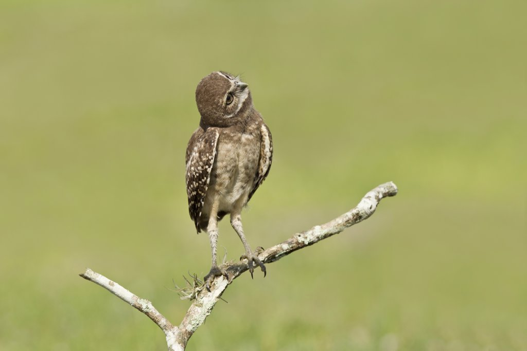 Burrowing owlet (Athene Cunicularia) looking upward while perched on branch : Stock Photo
