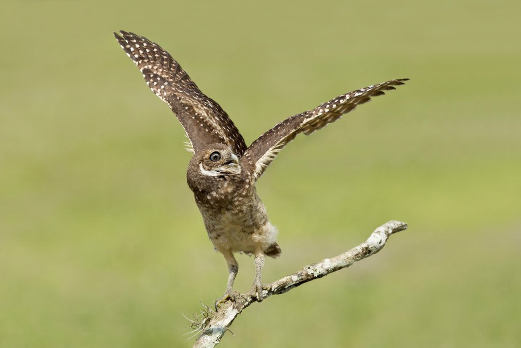 Stock Photo: 837-5408 Burrowing owlet (Athene Cunicularia) flapping his wings while perched on branch