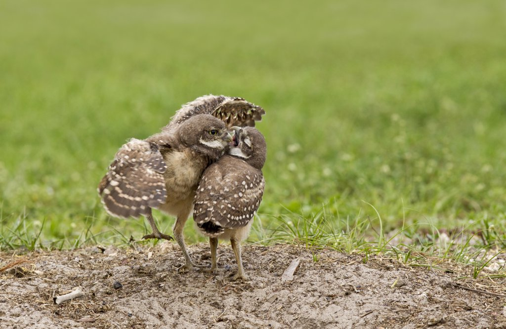 Stock Photo: 837-5410 Two Burrowing owlets (Athene Cunicularia) smooching near their burrow