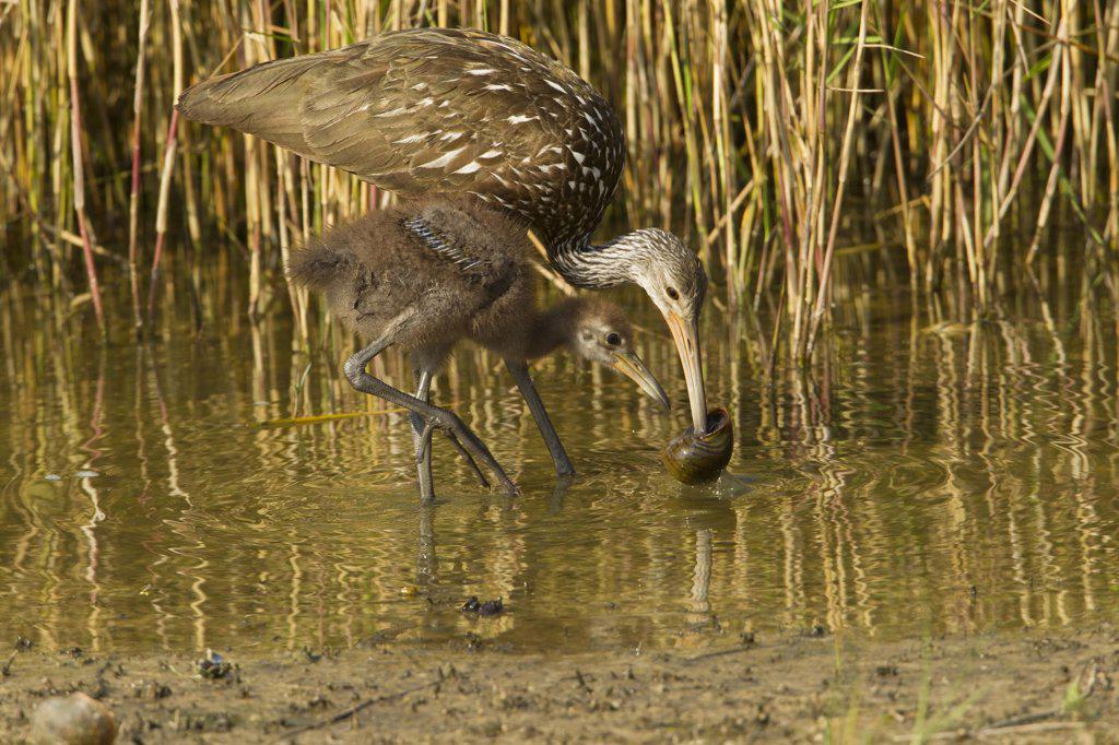 Stock Photo: 837-5421 Limpkin (Aramus guarauna) teaching large juvenile how to eat snail