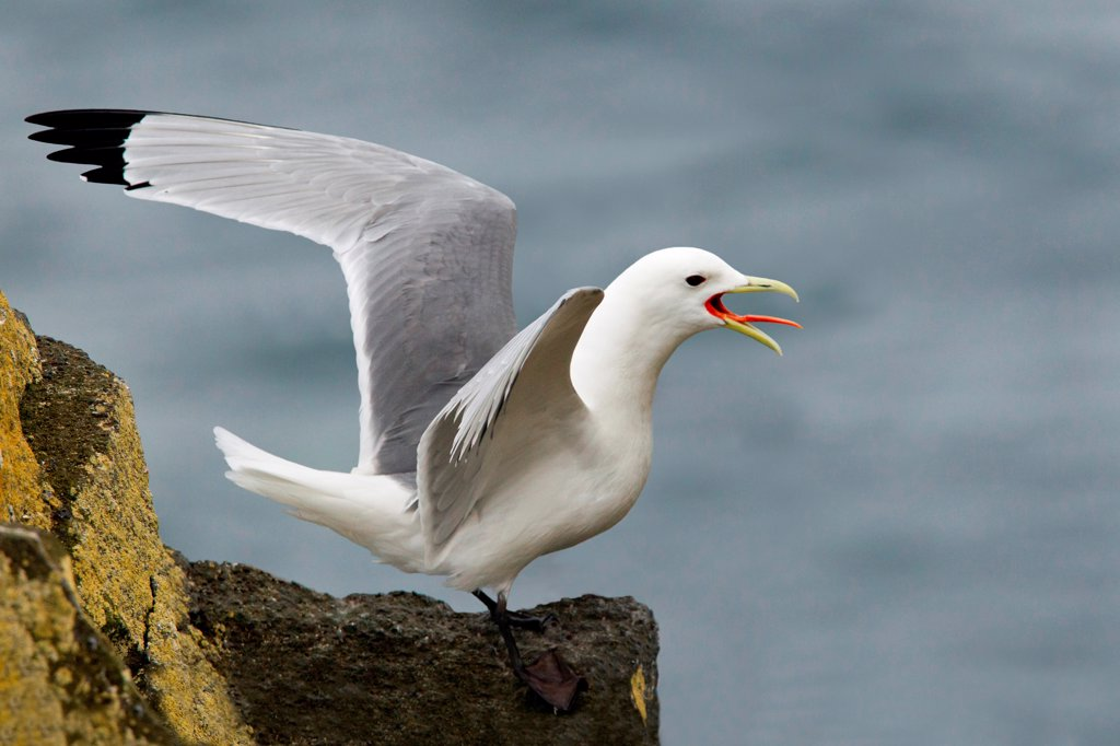 Stock Photo: 837-5534 Black-Legged Kittiwake (Rissa tridactyla) calling, Saint Paul Island, Alaska, USA