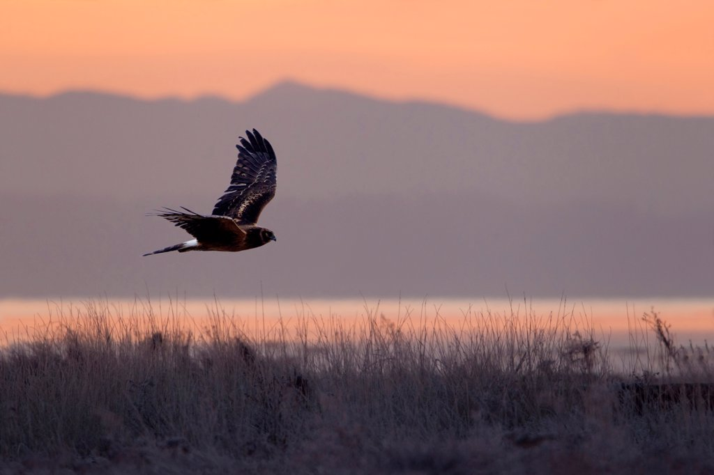 Northern harrier (Circus cyaneus) in flight at dawn with an orange sunrise sky and mountainous background : Stock Photo