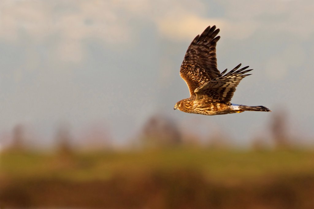Female Northern harrier (Circus cyaneus) in flight with a multilayered sky and land background : Stock Photo