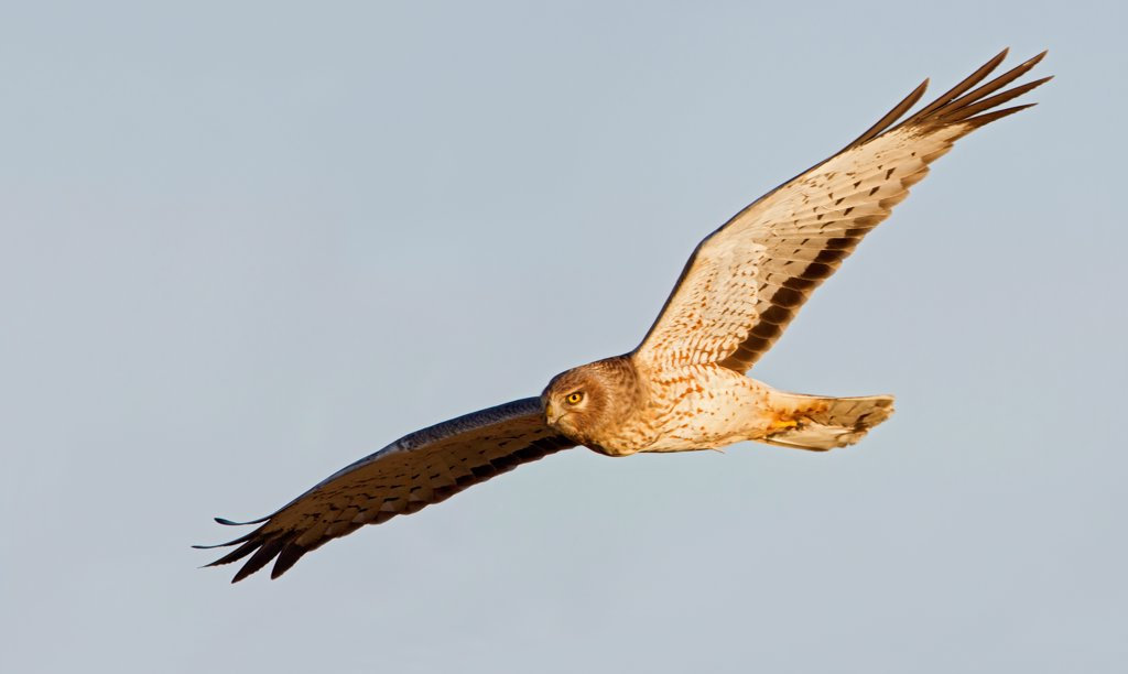 Stock Photo: 837-5651 Male Northern harrier (Circus cyaneus) in flight across a blue sky background