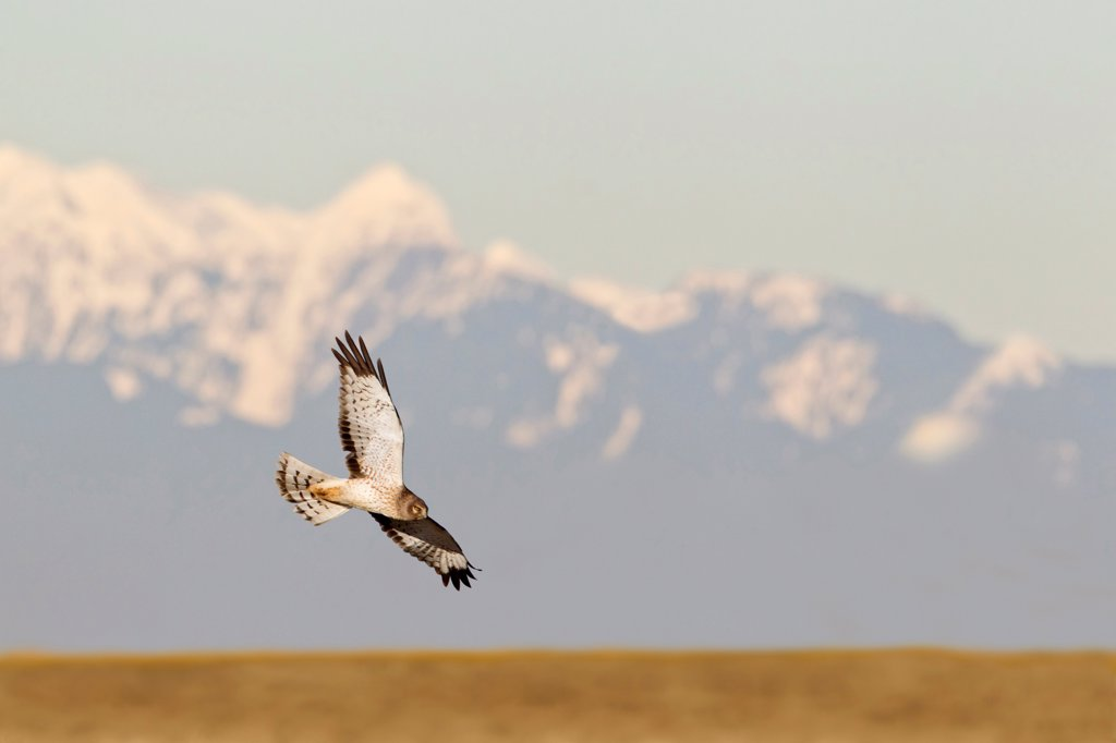 Stock Photo: 837-5653 Northern harrier (Circus cyaneus) in flight over a golden field with a snow covered mountain in background