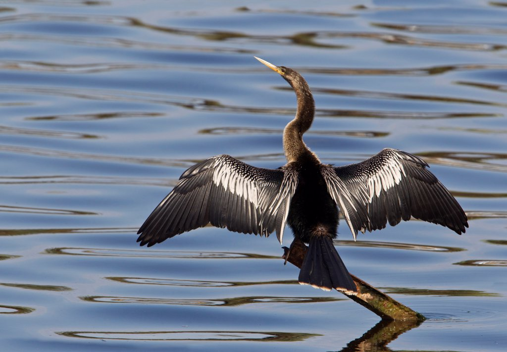 Adult anhinga (Anhinga anhinga) on metal post with water background : Stock Photo