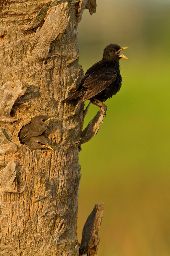 Stock Photo: 837-5766 European starling (Sturnus vulgaris) nest with chick looking out nest