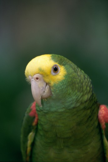 Close-up of a Yellow-headed Parrot : Stock Photo