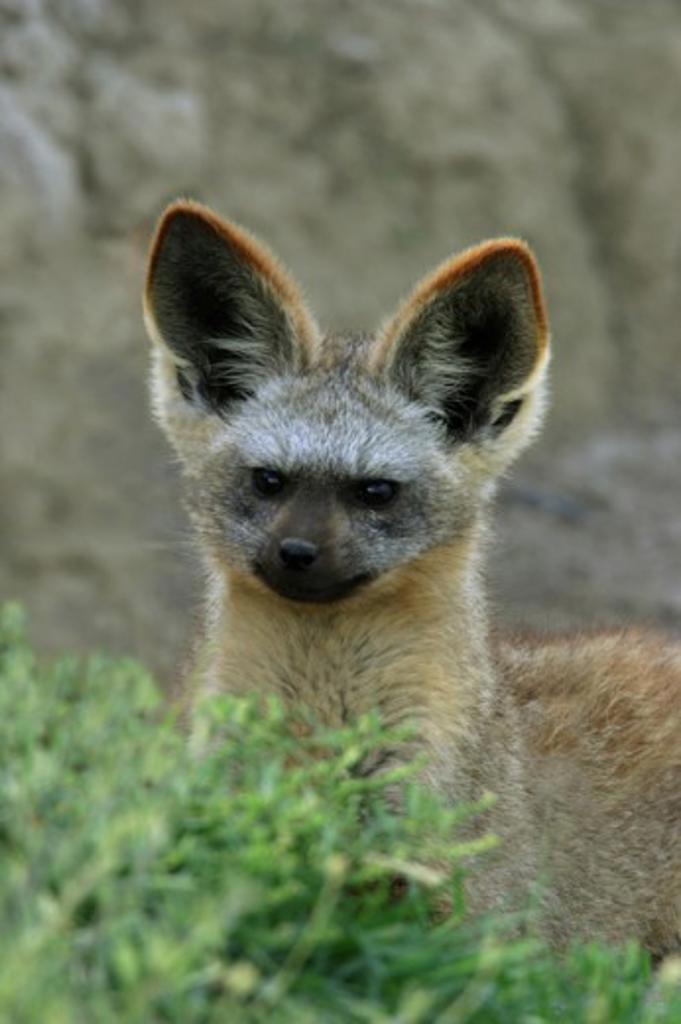 Stock Photo: 837R-2378 Bat-eared Fox