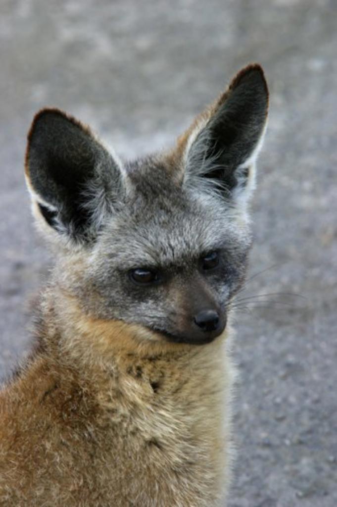 Stock Photo: 837R-2379 Bat-eared Fox