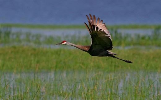 Stock Photo: 837R-2663 Side profile of a Sandhill Crane flying (Grus canadensis)